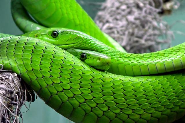 zelená mamba