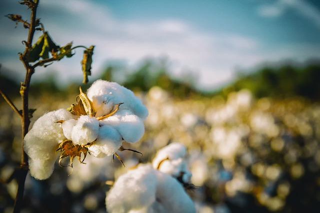 plantáž s bavlnou